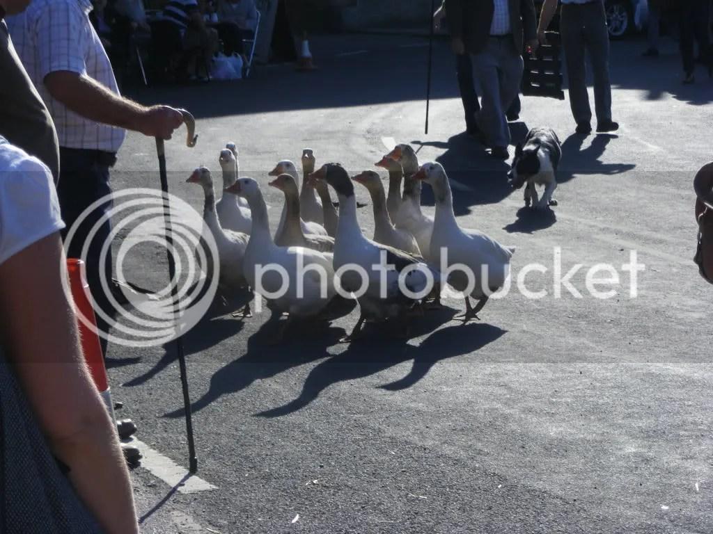 Geese herding