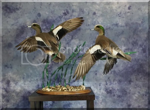 The gallery for gt Wigeon Duck Mounts