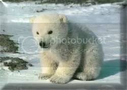baby-polar-bear.jpg Baby Bear image by used2b