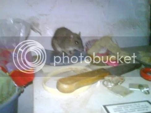 Råtta på kylskåpet morgonen jag åkte hem
