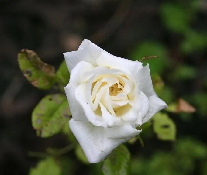 Rose on 20080517