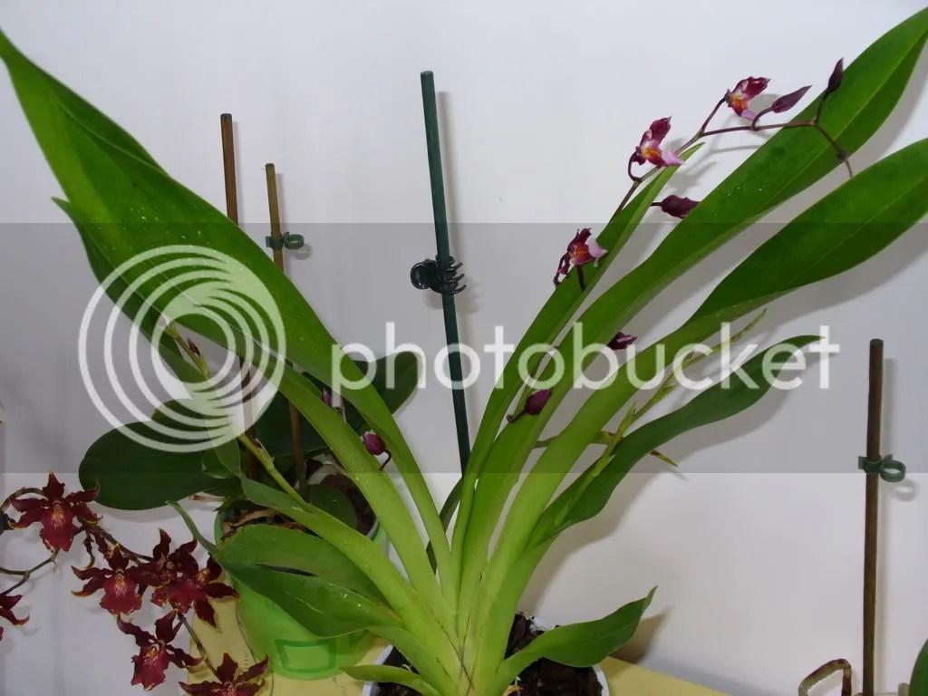 Identificazione orchidee  Forum di Giardinaggioit
