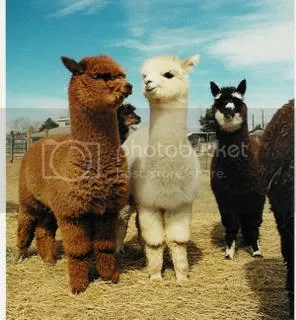 Alpacas Want to Help!