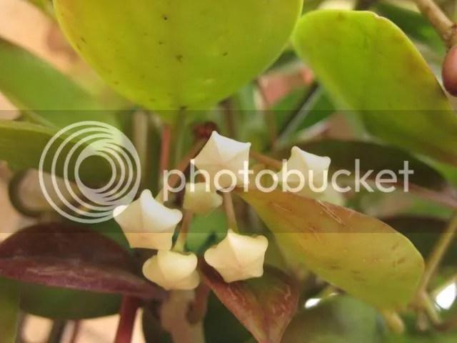 Hoya è un genere di piante della famiglia delle Asclepiadaceae (Apocynaceae[1] secondo la classificazione APG), comprendente circa 200 specie differenti, diffuse nel sud est dell'Asia, in Australia ed in Polinesia[2]. Per la gran parte sono rampicanti, ma alcune si presentano con l'aspetto di arbusti, altre sono striscianti. Furono classificate dal botanico Robert Brown[2] che le chiamò così in onore dell'amico Thomas Hoy, capo giardiniere del duca di Northumberland, nel XVIII secolo.  In Italia, e in particolare nel Mezzogiorno, la Hoya carnosa è nota anche con il nome colloquiale di Fiore di cera.
