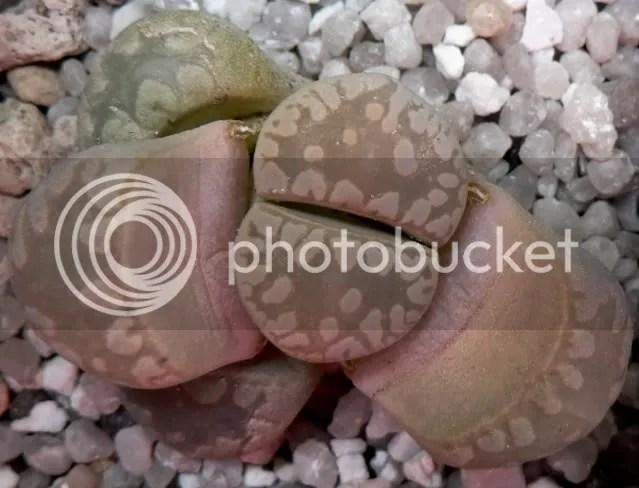 lithops otzenia - pianta in muta durante la stagione autunnale è particolarmente delicata