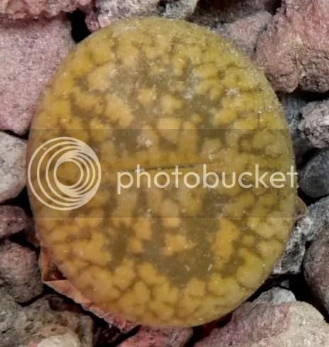 Ai Lithops piace un terreno ben drenato. In genere il composto usato per i cactus dovrebbe andar bene. Un buona miscela è sabbia silicea grossolana in miscela con un terzo di materiale poroso.