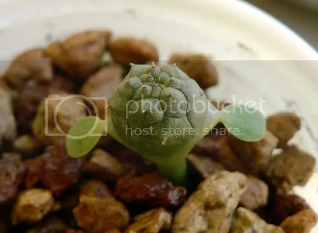 Semina di euphorbia obesa, plantule cresciute ed in ottima forma.