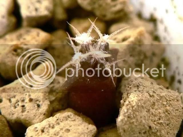 Semina di leuchtenbergia principis (3 mesi), plantule cresciute ed in ottima forma.