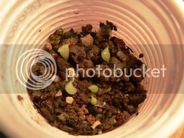 Semina di trichocereus ibridi, plantule cresciute ed in ottima forma.