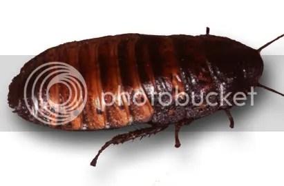 big nasty cock roach
