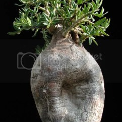 Kitchen Island For Sale Narrow Cart Pachypodium Bispinosum