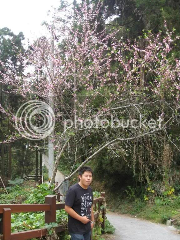 Sakura Trees..?