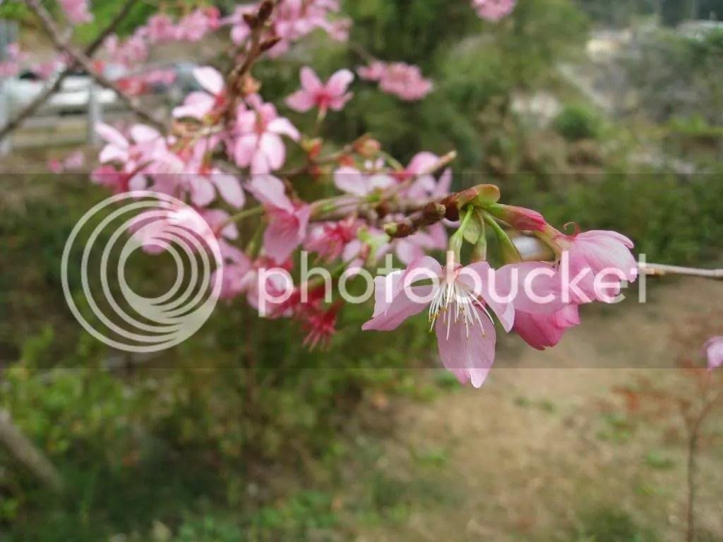 Close up of the Sakura.