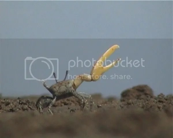 Fiddler Crab 3