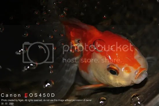 15Goldfish_resize.jpg picture by jade_ornament