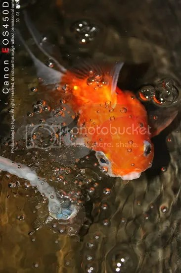 23Goldfish_resize.jpg picture by jade_ornament