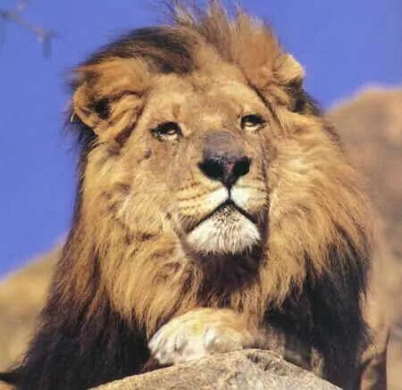 lion photo: Lion Lion.jpg