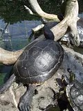 Valencia, Oceanográfico - Schildkröte