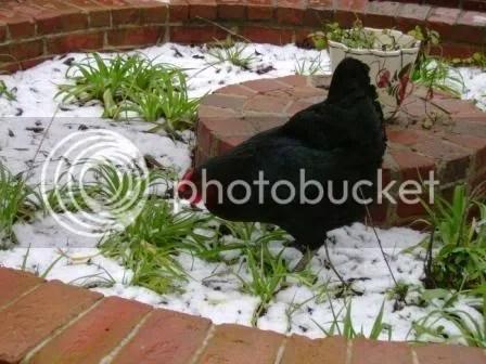 https://i0.wp.com/i187.photobucket.com/albums/x204/chicklady/Blackchick-whitesnow.jpg