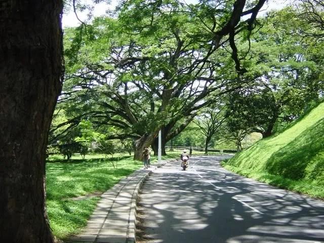 Giant shade trees