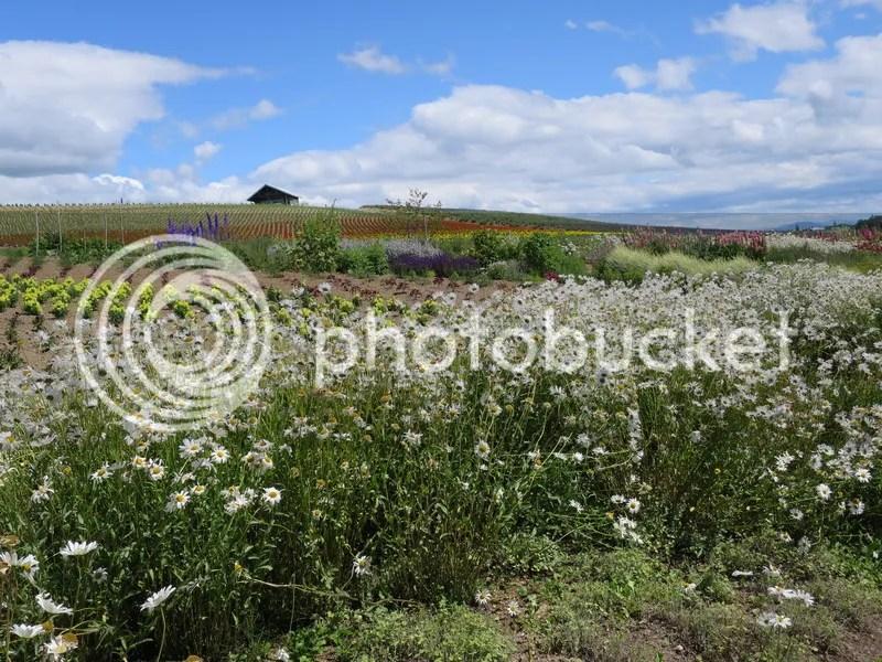 Kanno farm flower