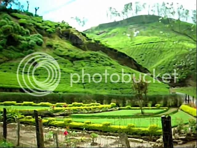 A tea farm down the hill