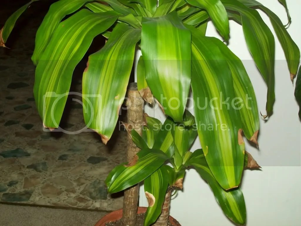 Best Kitchen Gallery: Help To Identify Inherited Plant Tropical Bannana Palm of Tropical House Plant Diseases on rachelxblog.com
