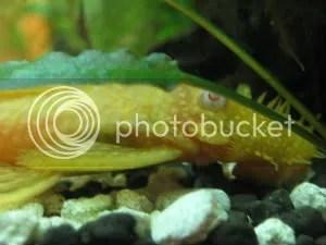 albino fishy