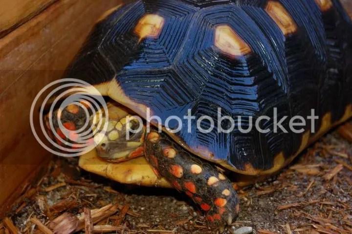 redfoot tortoise photos