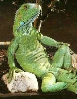 Is That An Iguana In Your Leg Or OC Weekly