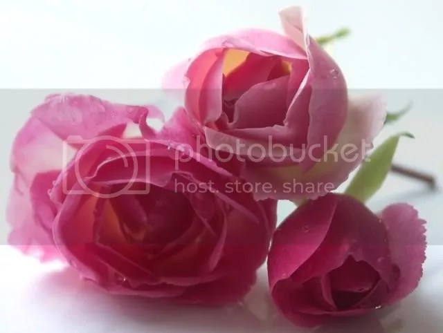 pink roses Pictures, Images and Photos