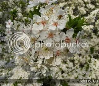 Flori la Cernica