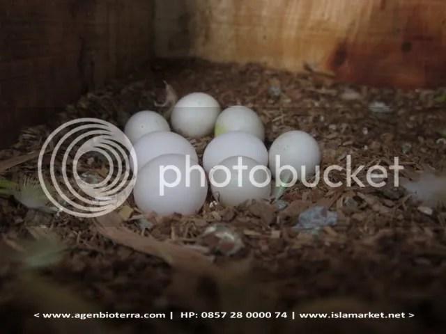Telur Burung Parkit
