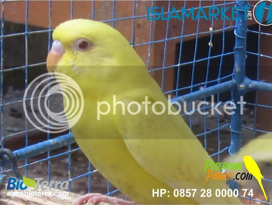 Burung Parkit Mata Merah Betina
