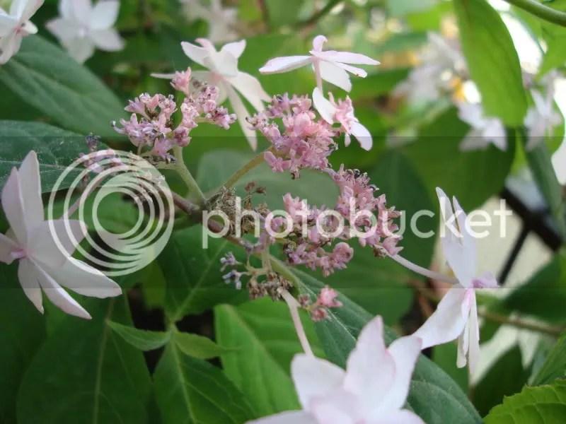 I fiori dellortensia shinonome si seccano Perch
