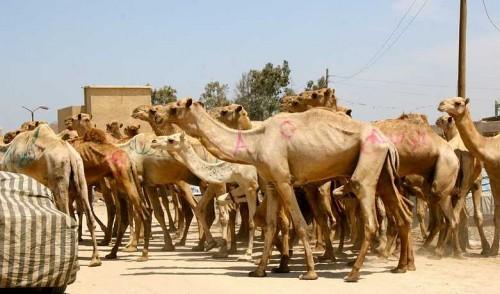 cameler.jpg