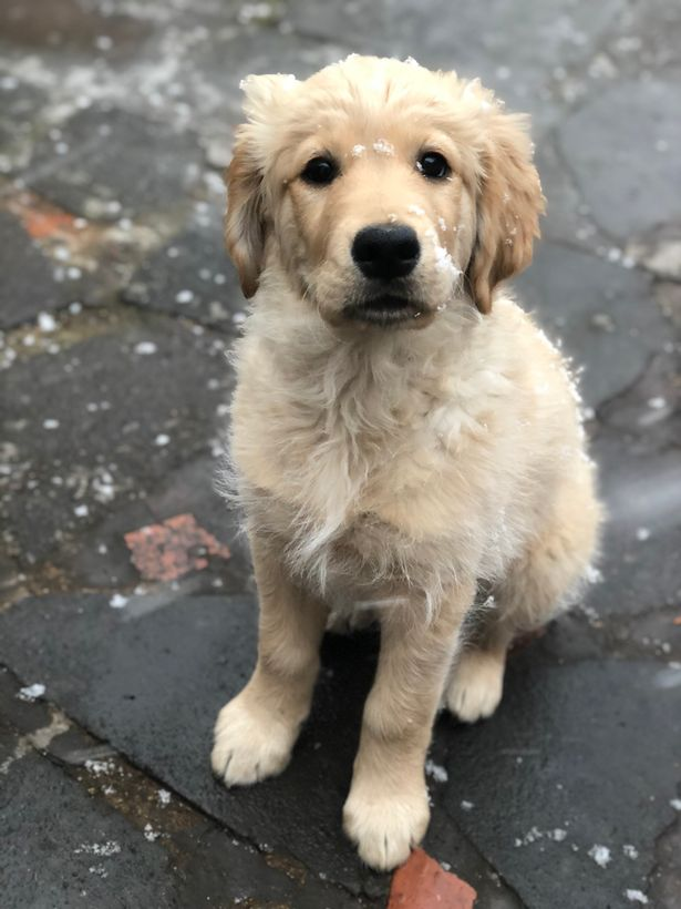 Bungle the Golden Retriever experienced snowfall for the first time