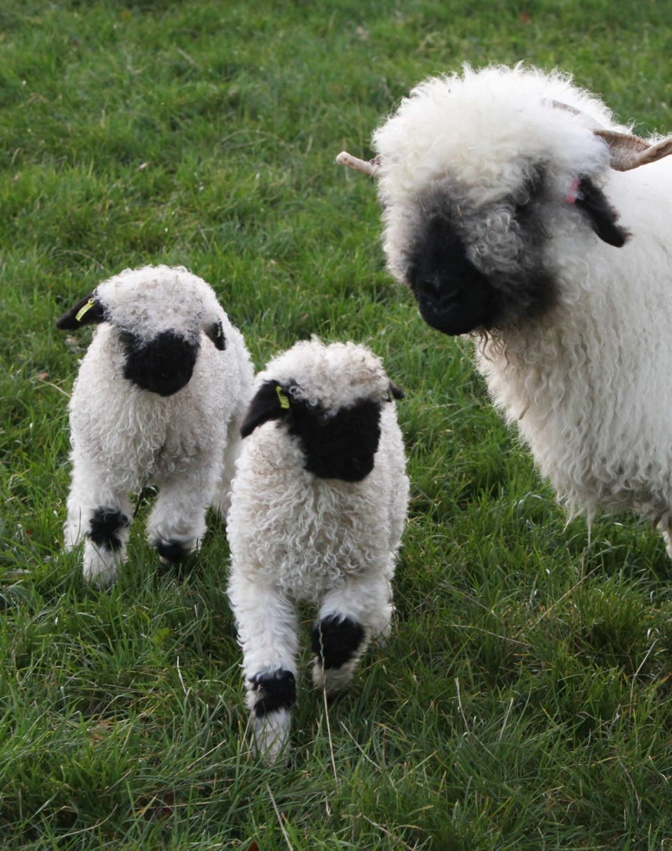 Cute Alpaca Wallpaper Worlds Cutest Lambs Are Born In Whittingham Chronicle Live