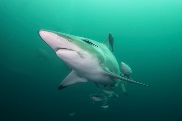 A stock image of a blacktip shark