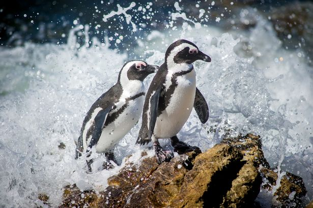 The mass deaths are a blow to conservationists battling to preserve African penguins