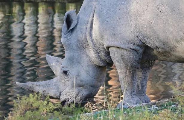The elderly rhino had a popular following on Twitter