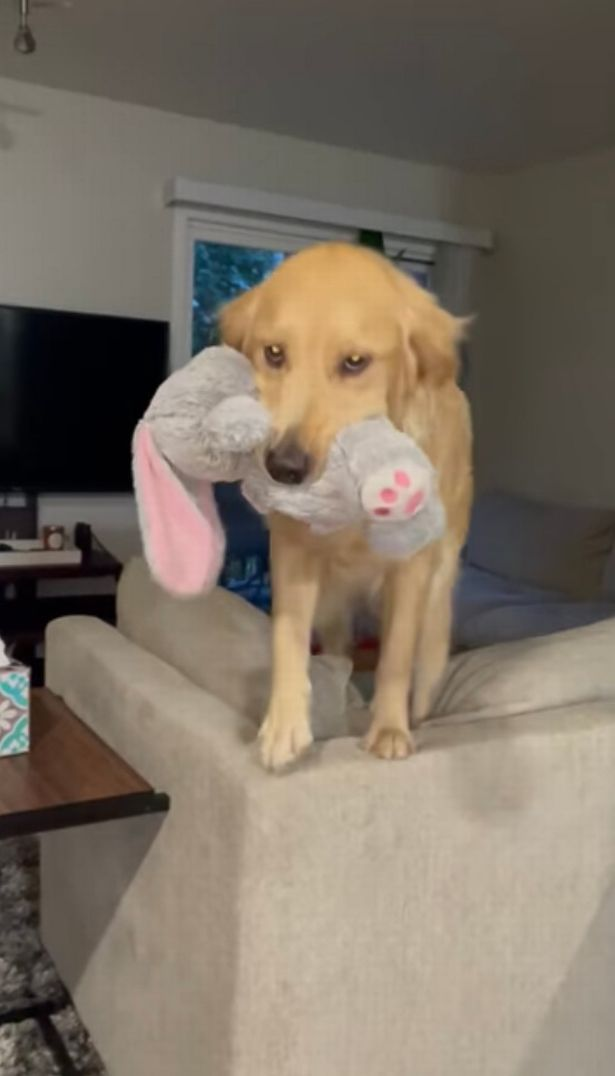 Amanda saw her pet standing on the couch while holding up as stuffed bunny