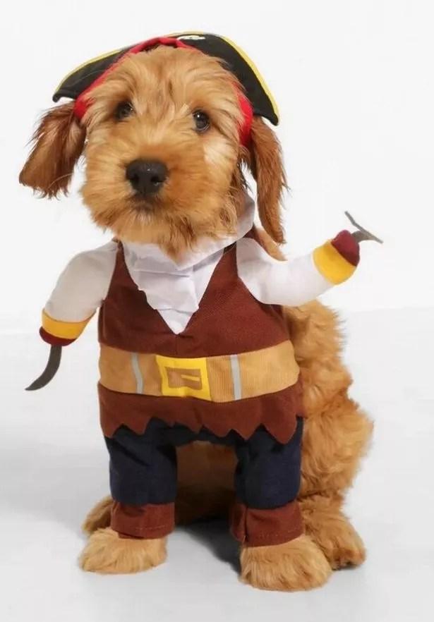 Dog wears pirate costume
