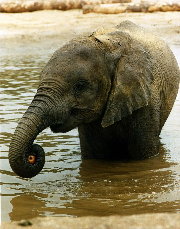 Shaba, the four year old African elephant at Windsor Safari Park cools her heels in the pool in May 1989