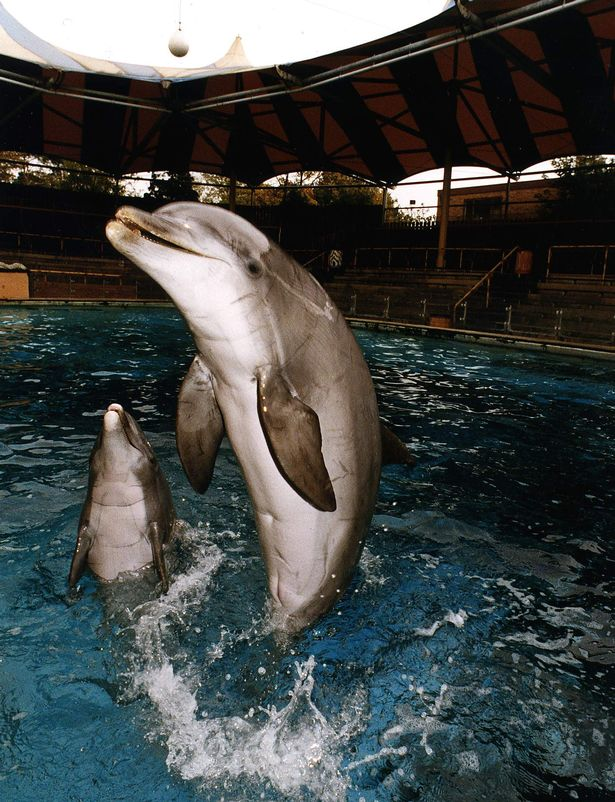 Prince the dolphin performs in front of empty seats at the Windsor Safari Park, October 1992