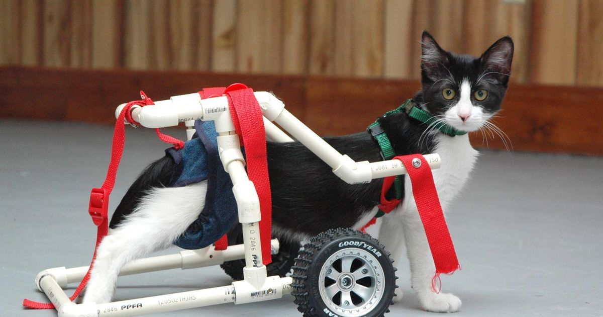 wheelchair for cats faux bamboo chairs australia this drunk cat needs a special from america gloucestershire live