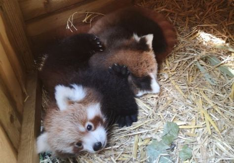 The new Red Panda cubs at Blackpool Zoo