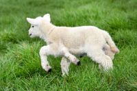 Healthy baby lamb is born with FIVE legs