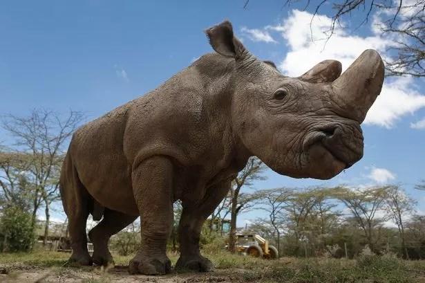 Image result for sudan rhino