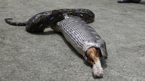 kitchen sink snake yellow rugs bloated 17-ft python spits out beloved pet cat 'bobo' on ...